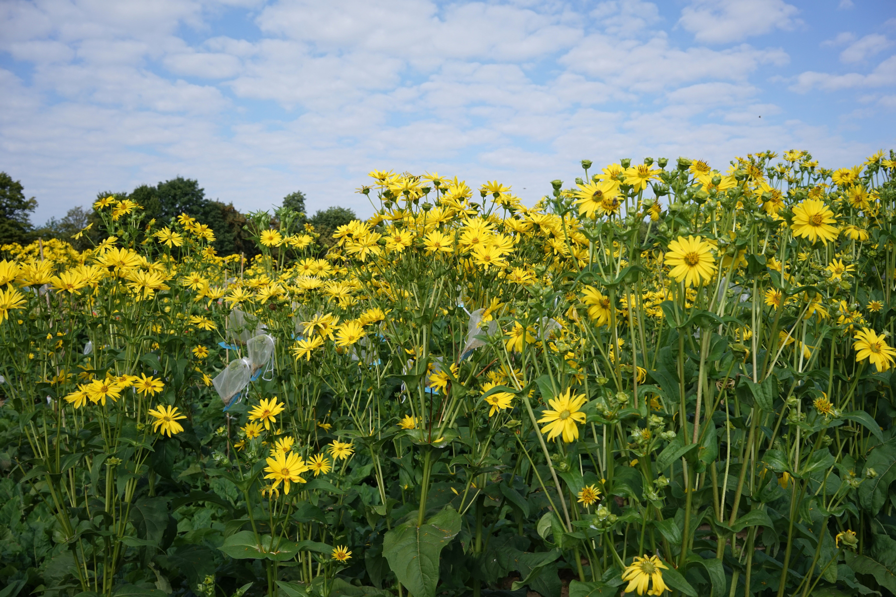 Die Becherpflanze Silphium perfoliatum  Quelle: Forschungszentrum Jülich
