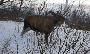 A moose next to the street. picture by Isabell Krisch, FZJ.